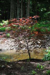 A Japanese Red Maple by our stream.