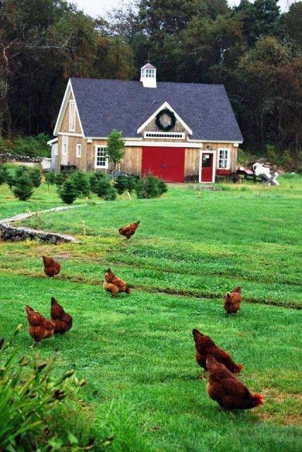 Clarks Tree Farm Hens