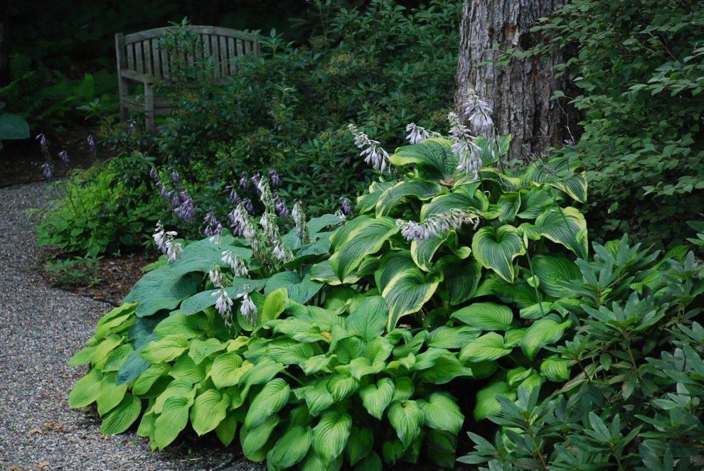 Hostas Everywhere
